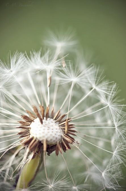 Lift-Off; Dandelion Seed Head