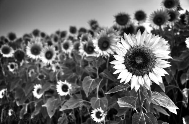 Rising Sunflower; Massachusetts